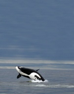Fall Travel Assignments: Orca Whale Watching